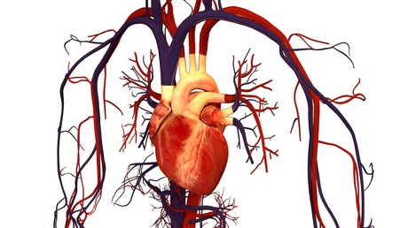 Newsela - The structure and physiology of the heart