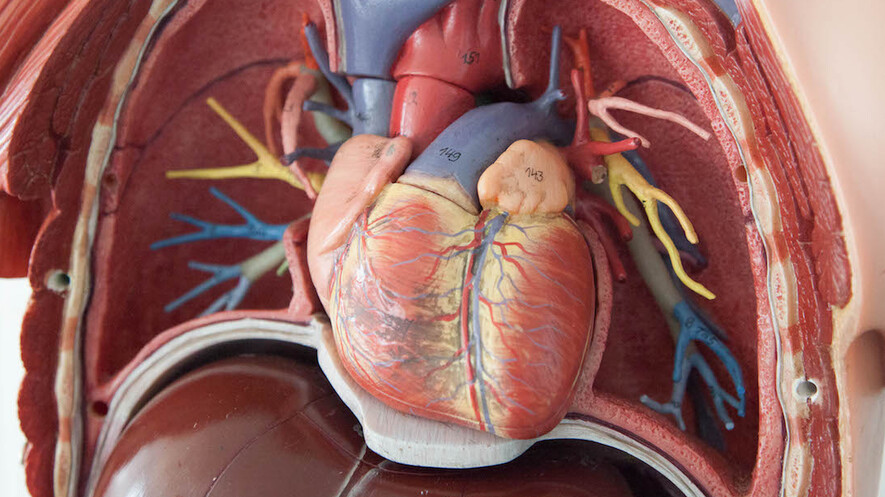 Newsela The Structure And Physiology Of The Heart