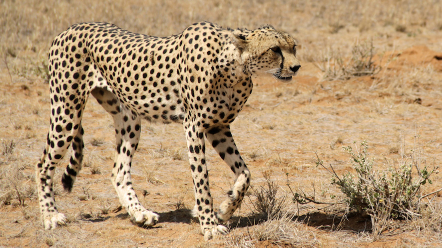 Within DNA, Signals to the actual Cheetah's Swiftness and even Challenges