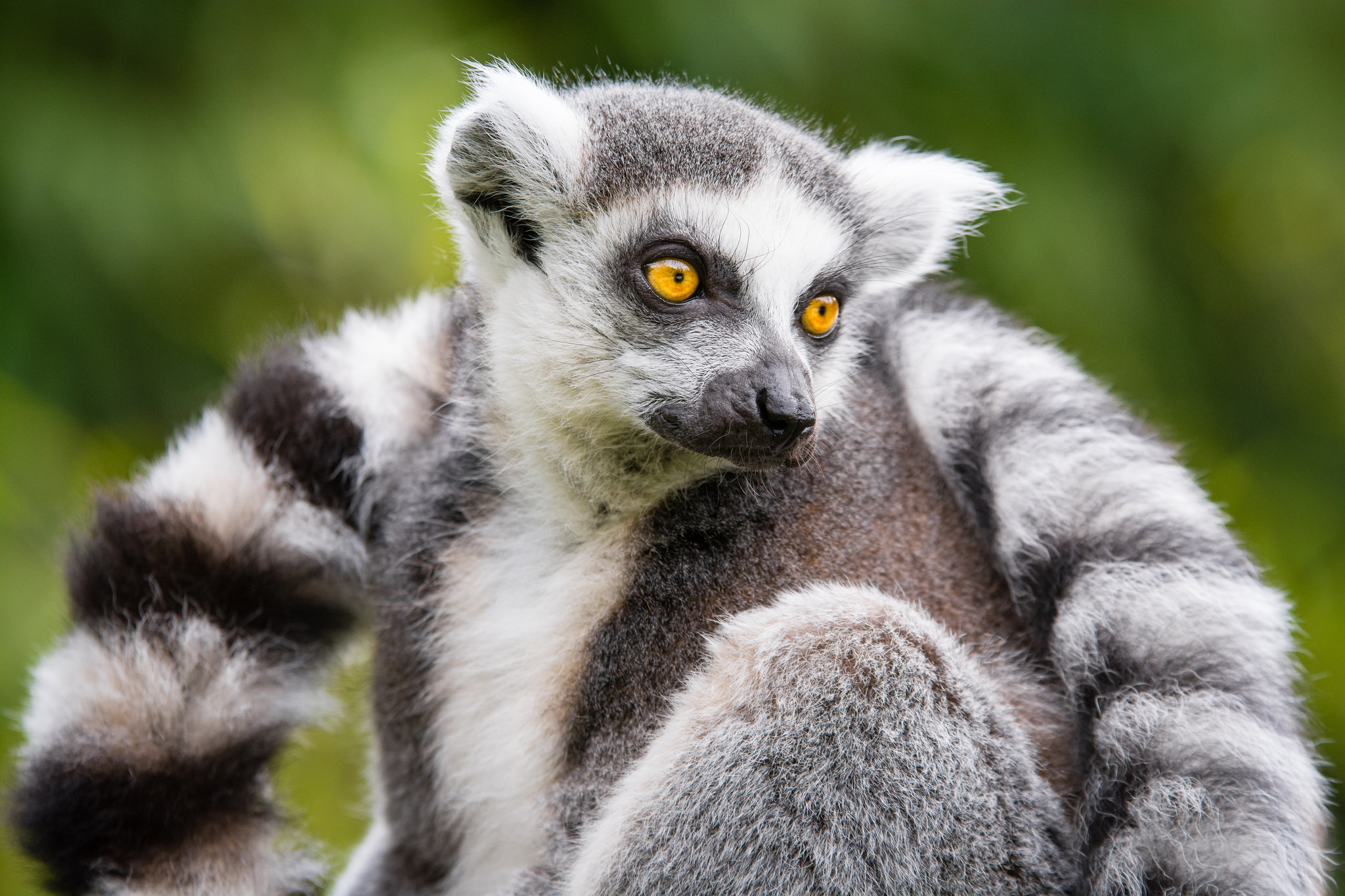Image of: Africa Viral Video Of Ringtailed Lemur Released In 2016 Had Surprising Result Newsela Newsela Lemurs And Other Wild Animals Put In Danger By Popular