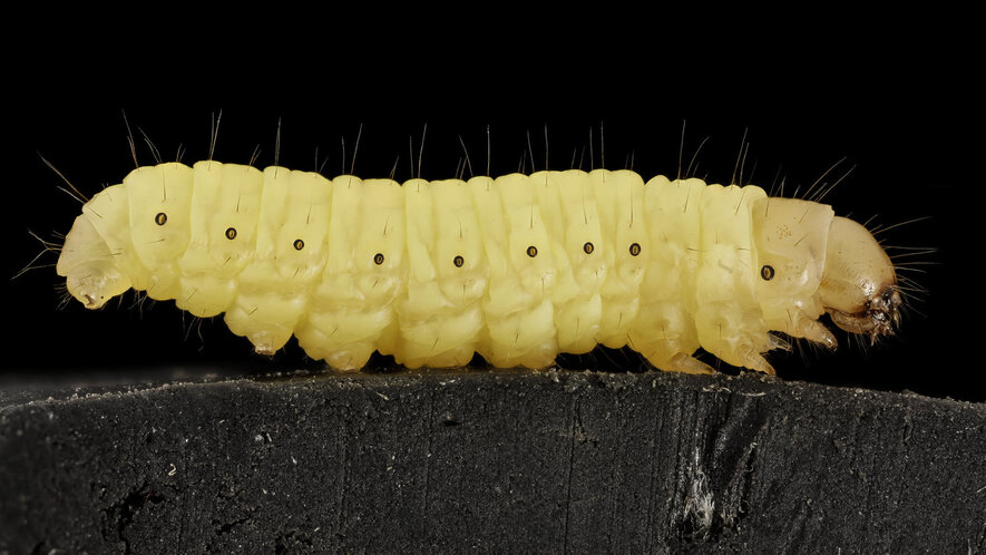 Newsela - This wax worm can eat plastic